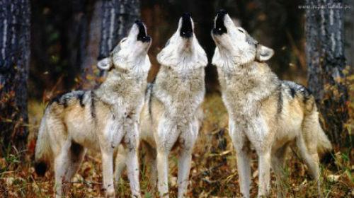 wilki-wyjące-450x252